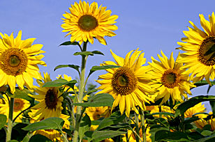 Sunflower-recipe